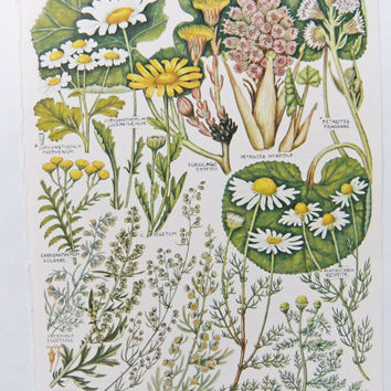 Vintage botanical flower illustrations - - vintage botanical drawings - old botanical prints of flowers - yellow, green and white