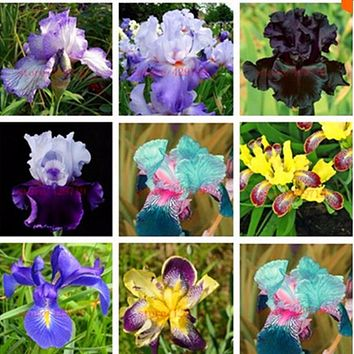 Sale! Free Shipping , Hot Selling ,100 Pink Iris Seeds, Popular Perennial Garden Flower, Gorgeous Cut Flower