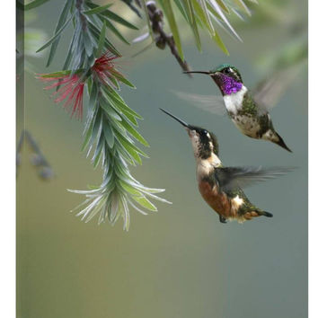 Feng Shui Painting White-Bellied Woodstar Hummingbird Male and Female