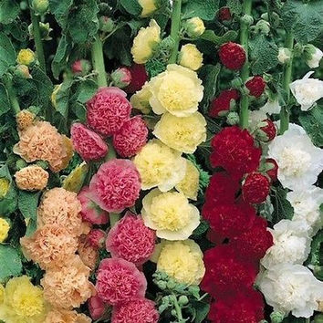 Hollyhock Carnival Mix Flower Seeds (Alcea Rosea) 50+Seeds