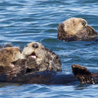Sea Otter Photo Nature and Wildlife Photo Print Matted 8x10 Free Shipping 11x14 5x7