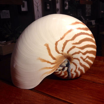 Giant Nautilus Shell