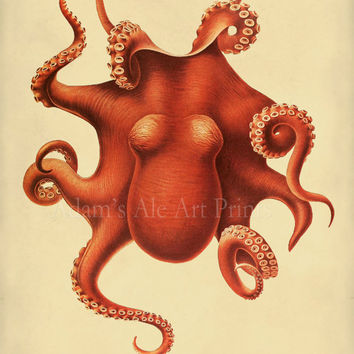 Octopus Scientific Illustration -  Natural History 12 x 16 Art Print Poster