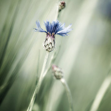 Flower photography cornflower photo flower photo print wildflower fine art cottage home decor floral wall art green blue botanical decor