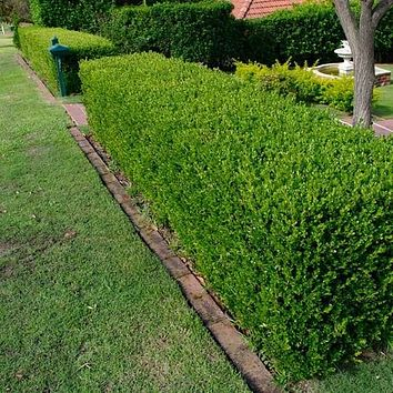 Wintergreen Japanese Boxwood Hedge Seeds (Buxus microphylla) 20+Seeds