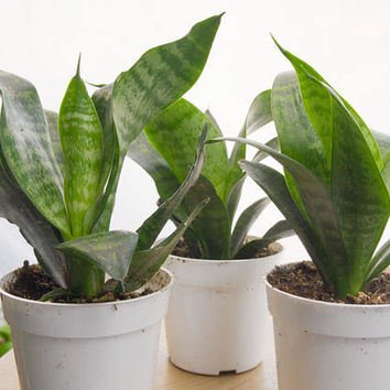 """Sansevieria Snake Plant 6-8"""" Tall, Indoor Plants, Easy House Plant, Houseplant, Dwarf Sansevieria Snake Plant, Mother In Law's Tongue"""