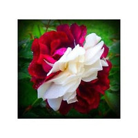 3 Red white rose flower seeds
