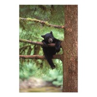 black bear, Ursus americanus, cub in a tree