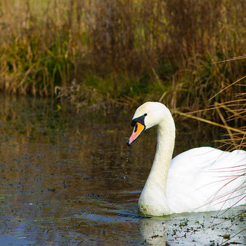 Swan In River In An  English Countryside Scene On A Cold Winter  Photograph by Fizzy Image - Swan In River In An  English Countryside Scene On A Cold Winter  Fine Art Prints and Posters for Sale