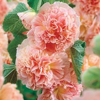 Hollyhock Peaches n Dreams, Perennial Flower Seed