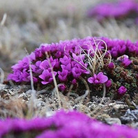 Saxifraga Purple Robe Flower Seeds (Saxifraga Arendsii) 100+Seeds