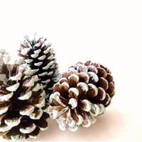 Rustic Pinecones. Blue Tipped. Natures Wonders. Holiday Still Life. Photography Print 5x7