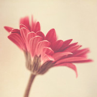 Floral Photography | Pink Gerber Daisy | Spring Wall Art | Summer Home Decor | Mother's Day | Flower Photograph | Minimalist