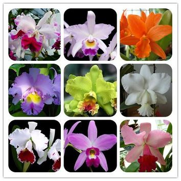 free ship Cattleya Hybrida Flower seeds 40seeds Famous Flowers Orchids seeds Bonsai Potted Office Plant Beautiful Flowers