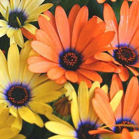 The Dirty Gardener African Daisy Flowers, 40 Seeds