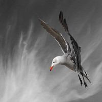 Bird Art, Bird Photography, Seagull, Heermann's Gull, Limited Edition Art Print, 11 x 14, Fine Art Photography, Superman