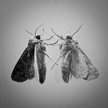 Moth Reflection Macro Closeup: Occupying the Light. 8x8 Black and White Metallic Nature Photograph. Fine Art Photography.