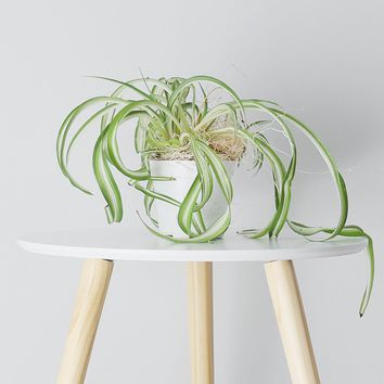 LIVE Spider Plant - Ships Alone