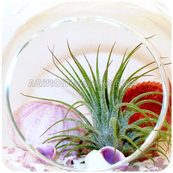 Tillandsia Air Plant Terrarium Kit - Hanging Glass Orb Globe - Airplant Up The Shore - Beach Decorations Birthday Housewarming Gift