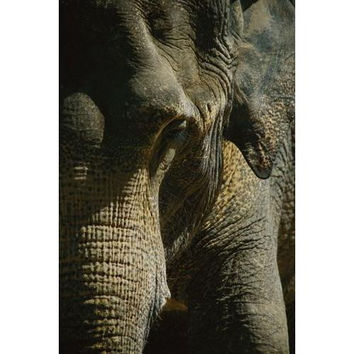 A close up of an Asian elephants trunk, an ear, and an eye