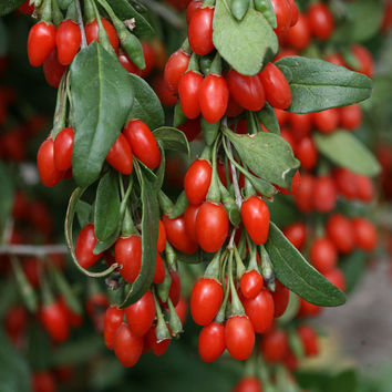 100 Himalayan Goji Berry Seeds Wolfberry Berries Dwarf Bush Rich in Antioxidant Home Gardening Plant Decor DIY
