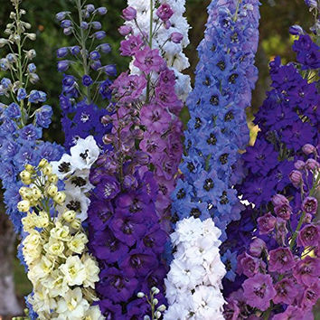 Rocket Larkspur (Delphinium) Tall Mix 1000 seeds plus FREE package of Wildflower seeds