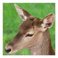 Young Deer Perfect Poster