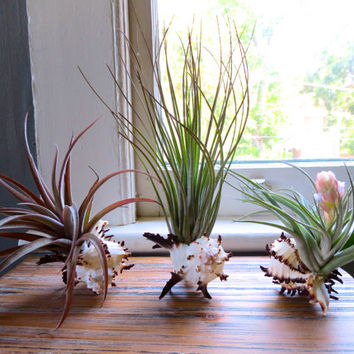Spiny Murex Shells with Exotic Air Plants
