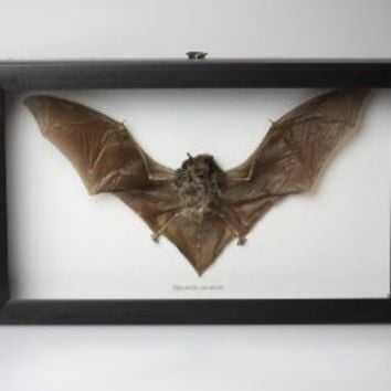 "Museum Quality Dried Java Bat Insect Taxidermy Collectible Pipistrellus Javanicus ?? Dracula ?? Professionally Set in Glass Shadowbox with Black Frame 10"" X 6"" X 1.25"""