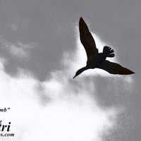 Dive Bomb Fine Art Photograph, Monochromatic, Monochrome, Black and White, Silhouette, Bird in Flight