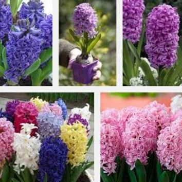 Hot Sale Many varieties Hyacinth Seeds Balcony Plant Seeds Hyacinthus Orientalis Flower Seeds Potted Plants 120PCS