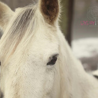 Farm Photograph - Wild One  - 8x10 Photograph White Horse with Snow