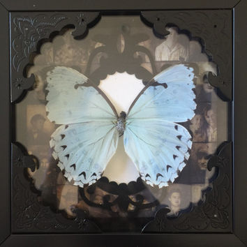 Gothic light blue morpho butterfly taxidermy display! Mustt see!