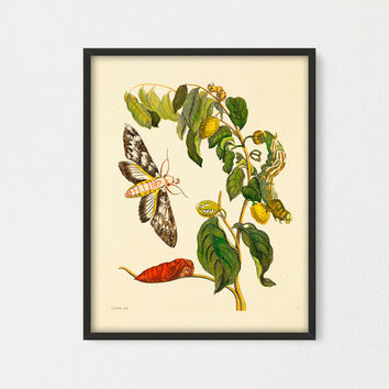 Soursop Printable, Botanical Vintage Art Print by Maria Sybilla Meriaen, Fruit Butterfly and Caterpillar, Butterfly Natural History Art