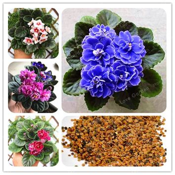 Violet Bonsai Garden Plants (Red Blue Purple ) Violet Flowers Perennial Herb Matthiola Incana Bonsai 50 PCS Potted plant