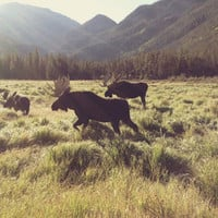 Three Meadow Moose Art Print by Kevin Russ | Society6