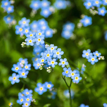 Blue Flowers, Photography, Wall Art, Cottage Chic, Flower Decor, Nature Photography, Flowers, Still Life, Forget Me Not, Prints, Photo Gifts