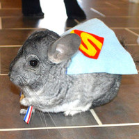 Chinchilla costume cape Superman