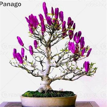 10pcs purple Magnolia seeds mini small Bonsai tree seeds beutiful flower seeds indoor pot plants mix color Diy home&office
