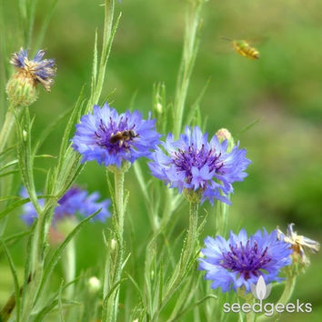 Bachelor's Button, Tall Blue Heirloom Seeds - Non-GMO, Open Pollinated, Untreated, Flower Seeds, Wildflower