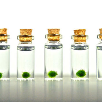 5 Super Miniature Marimo Ball Vials, Miniature Plants, Tiny Terrariums, Marimo Ball Mini Terrariums, Miniature Gardens, Live Plant Charms
