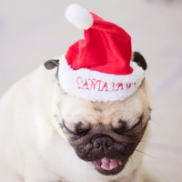 Christmas Pug Photo, Yawning Dog, Cute Pug Wall Art, Xmas Decor, For Dog Lovers, Pug Picture, Quirky Photo, Matte - 8x12 Print