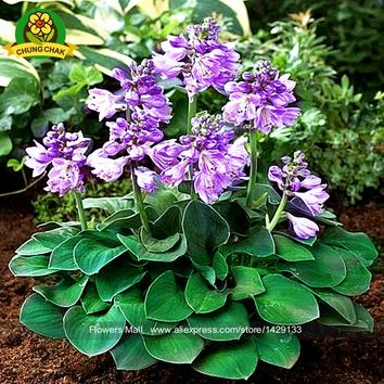 Fantastic plants Hosta Seeds 100pcs Fire And Ice Shade Perennials Plantain Flower Bonsai Home & Garden Ground Cover Plant Seed