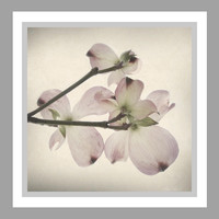 Pale Pink Dogwood Blossoms -photography by Ann Powell
