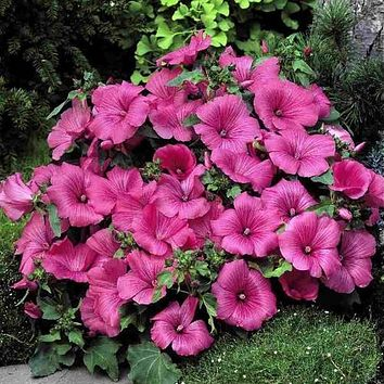 Rose Mallow Loveliness Flower Seeds (Lavatera Trimestris) 50+Seeds