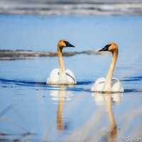Nature Photography, Trumpeter Swans, Set of 3 Photo Cards, Wildlife, Blue and White, Wisconsin, Nursery Wall Decor, Home Decor