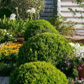 Southern Living Plant Collection 2.5 Qt. Boxwood Baby Gem 0609Q at The Home Depot - Mobile