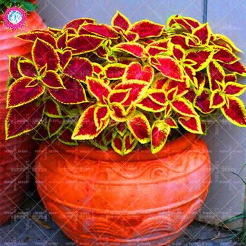 100pcs Janpanse Bonsai Rare Coleus Flower Beautiful Foliage Plants Perfect Color Rainbow Dragon Easy To Grow