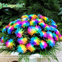 100PC Rainbow Chrysanthemum Flower Seeds, Ornamental Bonsai, Rare Color ,New Choose More Chrysanthemum Seeds Garden Flower Plant