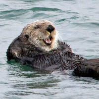 Sea Otter Photo Nature and Wildlife Photo Print Matted 8x10 5x7